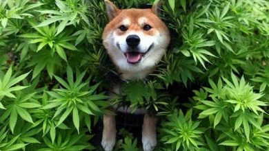 Photo of Dogs and CBD